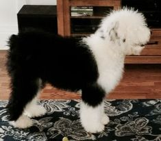 Snapadoodles of Sheepadoodles Sheepadoodle Puppy, Goldendoodle, Large Dog Breeds, Large Dogs, English Sheepdog Puppy, Cute Baby Animals, Dog Training, Fur Babies, Dogs And Puppies