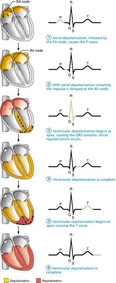 ECG Pacemaker cells trigger action potentials throughout the heart: Human Anatomy and Physiology Nclex, Nursing School Notes, Nursing Schools, Medical School, Cardiac Nursing, Pharmacology Nursing, Respiratory Therapy, Medical Anatomy, Human Anatomy And Physiology