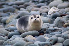 anoceanactivist:  Harbor Seal Pup (by brentdanley)