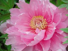 peony by meimie, via Flickr