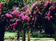Bouguinvilleas. Photo from Bothanic Garden of Rio de Janeiro City.RJ. BraziJ