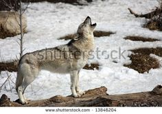 Find Lone Wolf Howling Winter stock images and royalty free photos in HD. Explore millions of stock photos, images, illustrations, and vectors in the Shutterstock creative collection. of new pictures added daily. Winter Background, Wolf Howling, Lone Wolf, Step By Step Drawing, Stock Foto, New Pictures, Photo Editing, Royalty Free Stock Photos, Wildlife