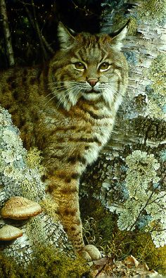 «Forest Sentinel» (Bobcat), painting by Carl Brenders, 1988.