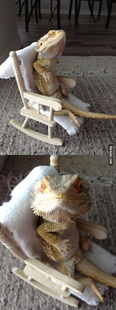My bearded dragon, Buster, sitting in a chair.