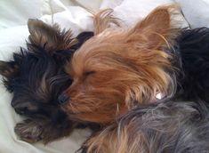 Yorkshire Terriers sleeping