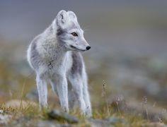 Arctic FoxbyKim Abel