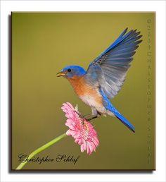 Blue Bird: Photo by Photographer Christopher Schlaf - photo.net