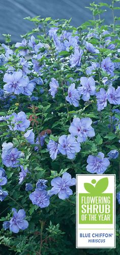 Proven Winners - Blue Chiffon® - Rose of Sharon - Hibiscus syriacus blue lavender plant details, information and resources. Blue Garden, Autumn Garden, Summer Garden, Shade Garden, Tall Shrubs, Trees And Shrubs, Flower Landscape, Summer Landscape, Colorful Flowers