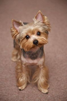 Yorkie Haircuts Pictures - Best Haircuts