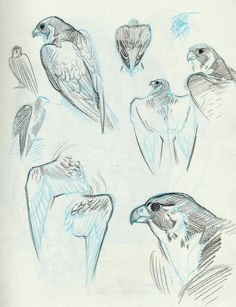 "mangycoyote: ""A Peregrine falcon was brought in to class today by a falconer/researcher so we could do some sketching. Animal Sketches, Drawing Sketches, Drawing Tips, Art Reference Poses, Drawing Reference, Bird Drawings, Animal Drawings, Arte Sketchbook, Art Studies"