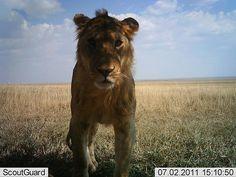 Die Tiere nutzen die Kameras offenbar gern für ein Selfie - wie dieser junge Löwe.