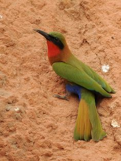 The Red-throated Bee-eater (Merops bullocki) is a species of bird in the Meropidae family. This species has a large range, and is found in Benin, Burkina Faso, Cameroon, Central African Republic, Chad, Democratic Republic of the Congo, Ivory Coast, Ethiopia, Gambia, Ghana, Guinea, Guinea-Bissau, Mali, Mauritania, Niger, Nigeria, Senegal, Sierra Leone, Sudan, Togo, and Uganda. by Jvverde