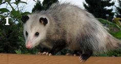 Unique gift idea!  Great for stockings!  Checkbook Covers  Opossum by WildlandCreations on Etsy