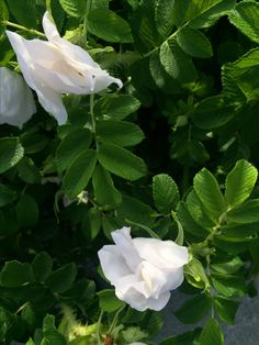 R. Rugosa Alba, white and green beauty // Gardens On My Mind