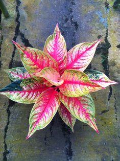 aglaonema jenis tanaman hybrid