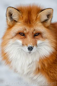 Fox in winter snow.
