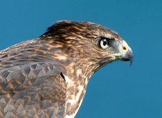 Birds of the Southern Oregon Coast Tree Swallow, Southern Oregon Coast, Cooper's Hawk, Cedar Waxwing, Coos Bay, Bird Feathers, Birds, Bird