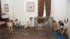 Several dogs had the run of sections of the dilapidated mansion where the operation was run. (Mredith Lane/Humane Society of the United States)