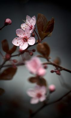 Plum Blossom by Roswitha Schacht / Cherry Blossom Wallpaper, Cherry Flower, Cherry Blossom Flowers, Blossom Trees, Cherry Cherry, Frühling Wallpaper, Flower Background Wallpaper, Flower Backgrounds, Flowers Nature
