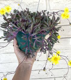 This 6 pot is full of Ruby necklace - this plant is similar to String of Pearls except it likes sun - it turns an even more colorful, deep ruby red as it gets more sun exposure. Blooms little yellow daisy-like flowers. This plant is a great hanging pot plant or spiller in arrangements