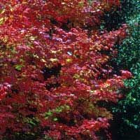 Vine maple showing beautiful fall color - NATIVE - up to 25' tall / part shade - shade