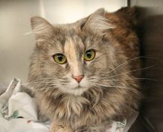 Ali (A631443); 4yo female brown tiger domestic longhair; @ shelter since 3/1. animalfoundation.com