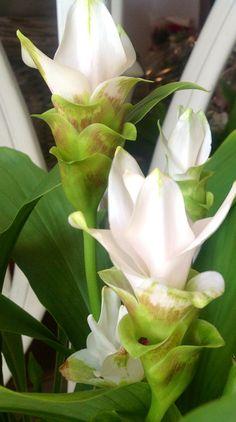 Curcuma   Flowers and Company