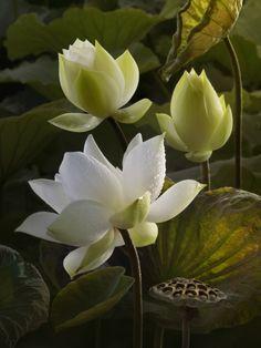 Photo of Lotus of Water Lillies Water Flowers, Flowers Nature, Lotus Flowers, Flower Images, Flower Art, Geniale Tattoos, Botanical Flowers, Belle Photo, Planting Flowers