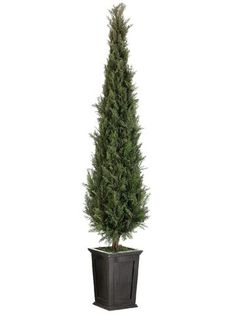 potted italian cypress