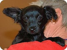Inland Empire, CA - Papillon/Chihuahua Mix. Meet ECLIPSE, a puppy for adoption. http://www.adoptapet.com/pet/12622437-inland-empire-california-papillon-mix
