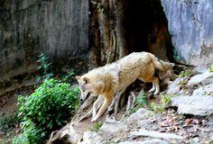Himalayan Wolf [Canis himalayensis] Grey Wolf subspecies