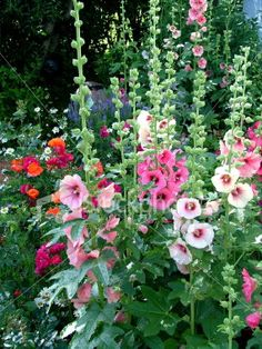 "a hollyhock garden - I love hollyhocks, I put the pic in ""vintage"" as they seem like a thing from my childhood, haven't seen them in years."