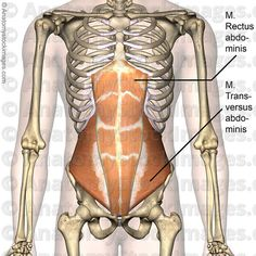 Awesome muscles of the torso anatomy