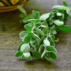 Culinary Majoram #culinary #herbs
