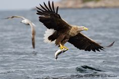 (by Andy Trowbridge) White Tailed Eagle, Wings Like Eagles, Isaiah 40 31, African Paintings, Birds Of Prey, Raptors, Bald Eagle, Strength, Wildlife