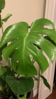 Dumb Cane Plant, Monstera Deliciosa, Potted Plants, House Plants, Plant Leaves, Room Ideas, Journey, Babies, Plants