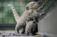 Two baby coatis play in their enclosure at the zoo in the northern German city of Hanover on June 3, 2009. Photo: NIGEL TREBLIN