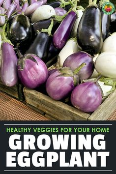 Growing eggplant is a way to increase your garden's beauty while producing a healthy vegetable. Our grower's guide can help you along!