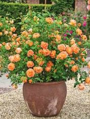 Here are a few of the many easy-care shrub and groundcover roses that thrive in containers. Shown: 'Lady of Shalott' has peach-orange blooms with a warm tea-rose fragrance; David Austin Roses.