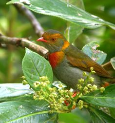 C onstitui uma das espécies de anambé menos conhecidas em campo. Endêmico dos tepuis na fronteira com a Venezuela (Roraima) vive nas mat...