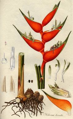 The Heliconia Society of Puerto Rico - Heliconias