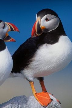 Even puffins can have a conversation, where one talks, and the other pretends like they're listening.