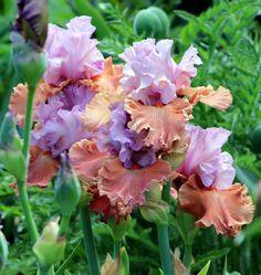 TB Iris 'Adoree' (Blyth, 2009-10)
