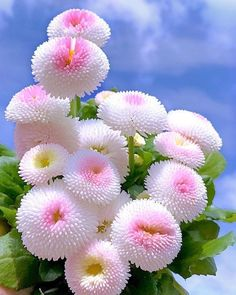 Bellis perennis, also known as daisy, English daisy, among others is a plant of the Asteraceae family Beautiful Flowers Pictures, Beautiful Flowers Wallpapers, Beautiful Flowers Garden, Exotic Flowers, Amazing Flowers, Beautiful Roses, Orchid Flowers, Hibiscus Flowers, Cactus Flower