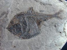 fossils | Argyropelecus Fish Fossils