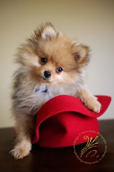 pomeranian puppy in red hat
