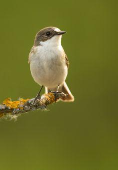 Pied Flycatcher by Mark Hancox Bird Photography