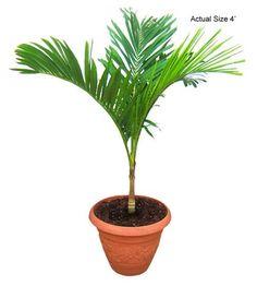 Cayman Thatch Palm- Coccothrinax proctorii Buy Palm Tree (Web) Buy ...