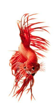 ♥ Red betta - Visarute Angkatavanich