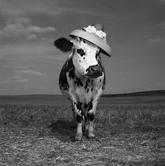 Hermione, the hat-wearing Holstein. (Gotta click through and see her other hats!)